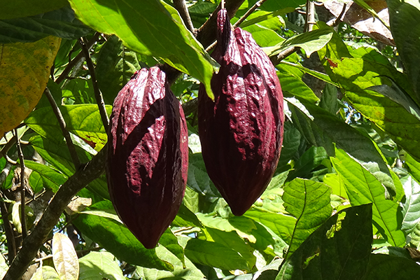 Cacao fruits on Flores