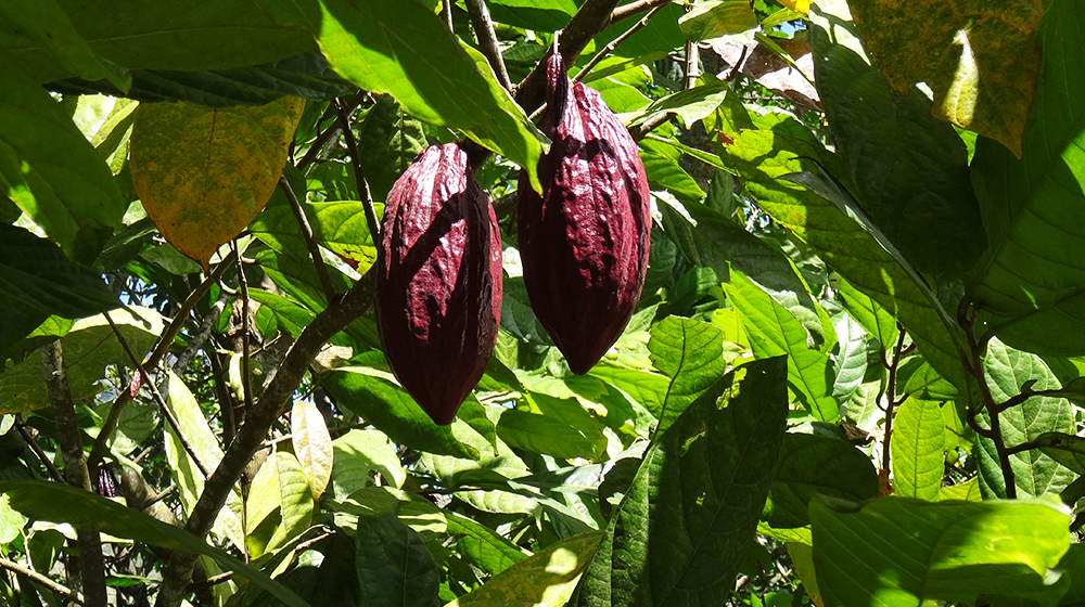 Cacao beans on Flores