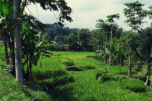 Rice fields near Tetabatu