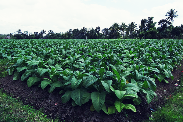 Tobacco plantation on Lombok