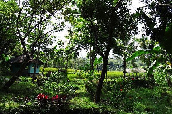 Sawah near Tetebatu
