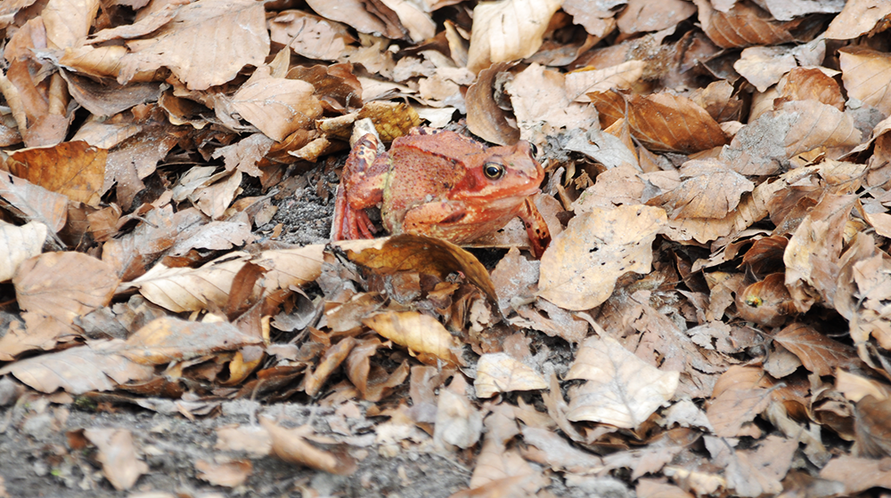 Red frog hiding himself by having the same color as the leaves.