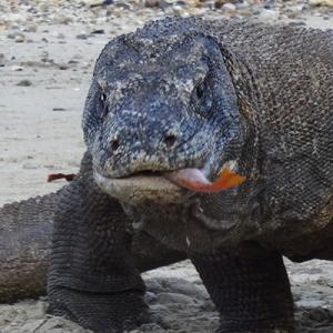 Eating Komodo dragon