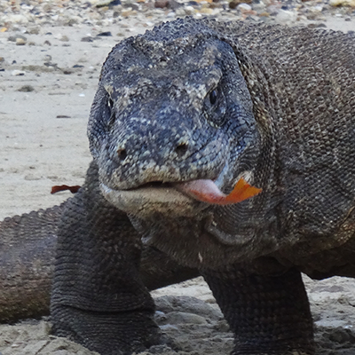 Eating Komodo dragon